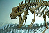 Dinosaur skeleton: An archosaur, postosuchus kirkpatrickii, was a large meat-eating reptile member of thecodont group of the late triassic period, 235-208 million years ago, before the dinosaurs. Postosuchus walked on all fours but could walk on its hind legs for short intervals. This is a composite skeleton, constructed from castings of bones from several museums. Los Angeles County Museum of Natural History, Los Angeles, California, January 2006.