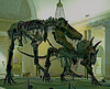Dinosaur skeleton: Dueling dinosaurs: full skeletons of Tyrannosaurus Rex on left and stegosaurus in famous battle in Rotunda of Los Angeles County Museum of Natural History. January 2006.