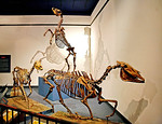 Prehistoric animal skeleton, early American horses:  On left is 3-toed Grazing Horse, Neohipparion Leptode, Late Miocene, 6-7 million years ago, from Thousand Creek Formation, Nevado. In for ...